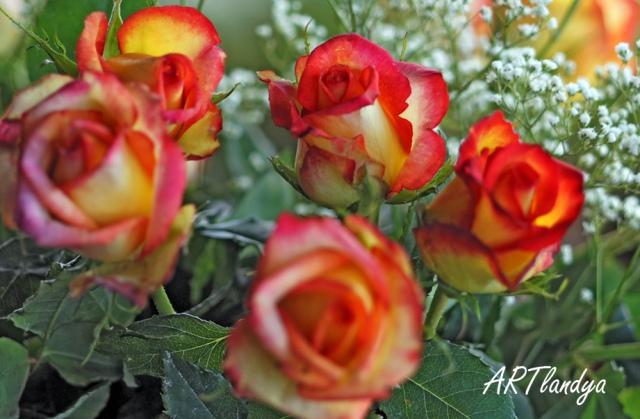 artlandya_rose2